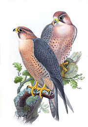 Painting of subspecies babylonicus by John Gould