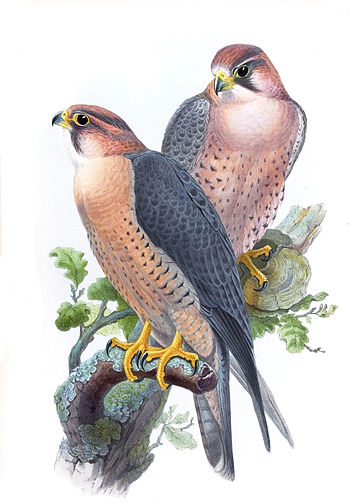 Peregrine Falcon, (Red-capped Falcon) Falco pe...