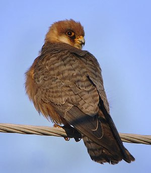 Falconidae - The red-footed falcon is unusual in being a colonial breeding falcon