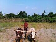 Farmer farming in Balasore, Odisha, 2011