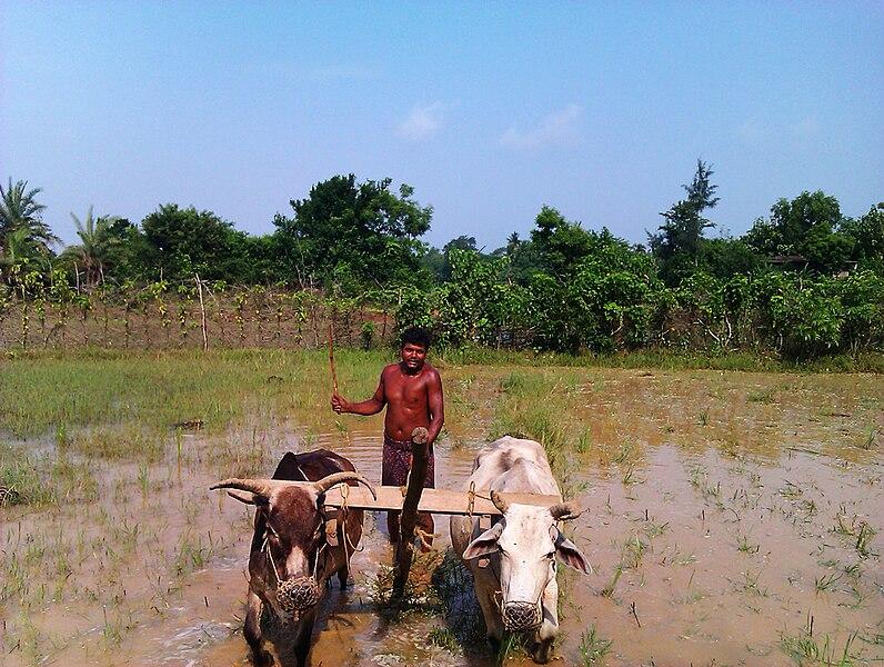 File:Farmer farming in Balasore, Odisha, 2011.jpg