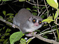 Fat-tailed Dwarf Lemur, Kirindy, Madagascar.jpg