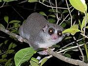 Pygmy Ring Tailed Lemur