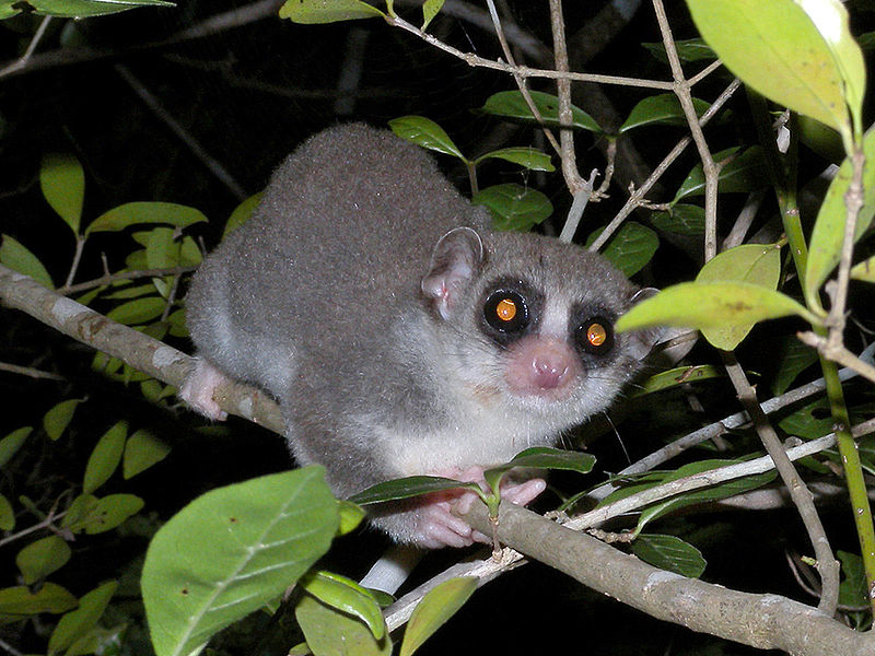 File:Fat-tailed Dwarf Lemur, Kirindy, Madagascar.jpg
