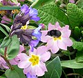 Female Hairy-footed Flower Bee. - Flickr - gailhampshire.jpg
