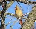 Female Northern Cardinal (24329669966).jpg