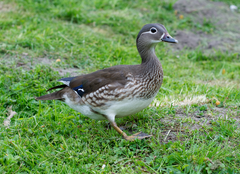 Female mandarin duck.png