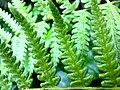 Fern leaf1.jpg