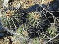Ferocactus flavovirens (5754260324).jpg