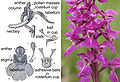 Fertilisation of Orchids figure 1X.jpg