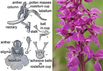 Rostellum - Cutaway drawing of Orchis mascula showing the rostellum projecting forward from the column to form cups which keep the adhesive balls sticky.
