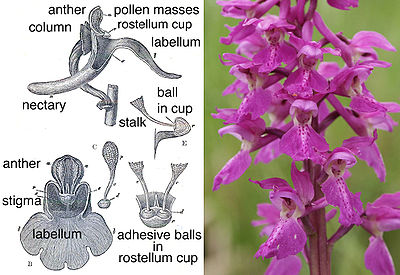 photograph of a spire of purple flowers, and drawing showing the working parts of the flower