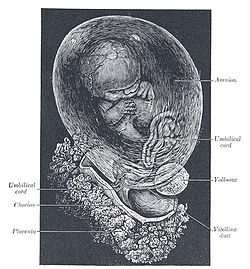 Human fetus at eight weeks. A small part of the placenta is shown at the bottom, while the fluid-filled amnion surrounds it.