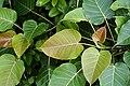 Ficus arnottiana 1905.jpg