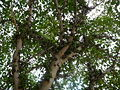 Ficus lutea 0006.jpg