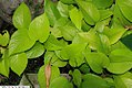 Ficus pumila Quercifolia 1zz.jpg