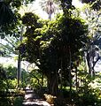 Ficus rubiginosa 01.jpg