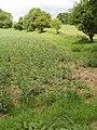 Field beans, Turville Park Farm - geograph.org.uk - 819131.jpg