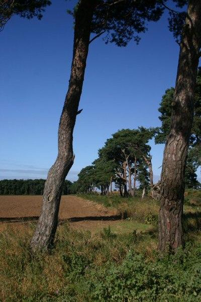 File:Field boundary on the Elveden Estate - geograph.org.uk - 545920.jpg
