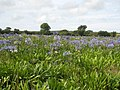 Field of agapanthus behind Ludgvan church - geograph.org.uk - 914670.jpg