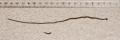 Figure 08 (PeerJ 4672) - Bipalium kewense scissiparity.png