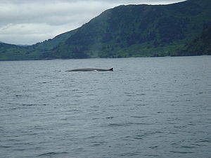 Raspberry Island (Alaska) - A fin whale surfacing in Raspberry Strait.