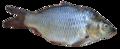 Fish - Puntius sarana from Kerala (India).png
