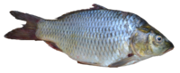 Fish - Puntius sarana from Kerala (India).png