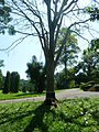 Flame Tree (Delonix Regia-Fabaceae).JPG