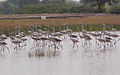 Flamingo Birds Bishnoi village near Jodhpur Rajasthan India.jpg