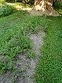 Fleischmannov rebrinec (Plastinaca sativa L. var. fleischmanni (Hladnik) Burnat).jpg