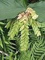 Flemingia strobilifera (Fabaceae) 05.jpg