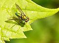 Flickr - Furryscaly - Dolichopodidae.jpg