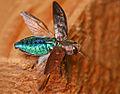 Flickr - Lukjonis - Wood Boring Beetle - Chrysobothris affinis.jpg