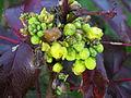 Flickr - brewbooks - Mahonia aquifolium Discovery Park (1).jpg