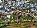 Flickr - ronsaunders47 - THE UGLY TREE. SRI LANKA..jpg