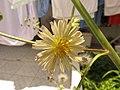 Flor do almeirão - panoramio.jpg