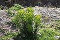 Flora della Sardegna 203 (1).JPG