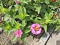 Flors als jardins del Parque de las Musas de Chiclayo03.jpg