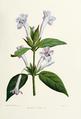 Flower-barleria-cristata.png