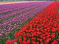 Flowerfields near Noordwijk (Netherlands 2007) (2476570594).jpg
