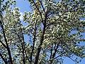 Flowering Crabapple (148583434).jpg