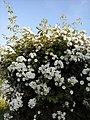 Flowers - Fiori (17336427888).jpg