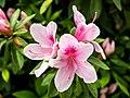 Flowers in Japan (27816389198).jpg