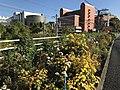 Flowers of Chrysanthemum near Kyushu Sangyo University.jpg