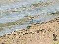 Flussuferläufer (1) (34896624601).jpg
