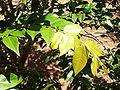 Folhas de jabuticabeira.jpg