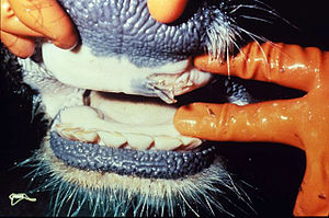 Ruptured oral vesicle in a cow with FMD