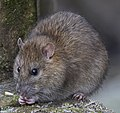 Footbridge Wildlife (1), Brown Rat - geograph.org.uk - 1585934.jpg