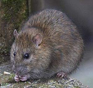 Footbridge Wildlife (1), Brown Rat Brown Rat o...